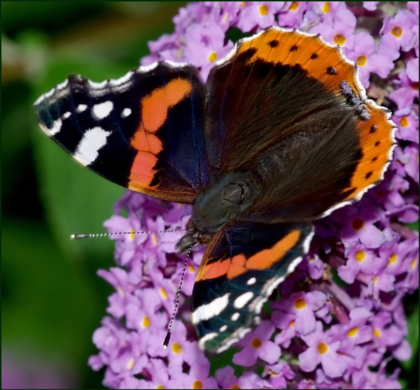 """Red Admiral-Vanessa atalanta\"".. by Badgerfred"