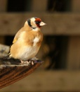 Goldfinch by nglen