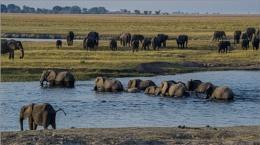 Elephants Crossing Chobe River