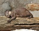 Sleeping Otter by peterthowe