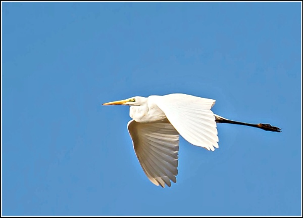 Great White Egret. by delboy85