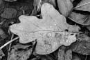 """""""Water on Oak Leaf"""" by Willmer"""