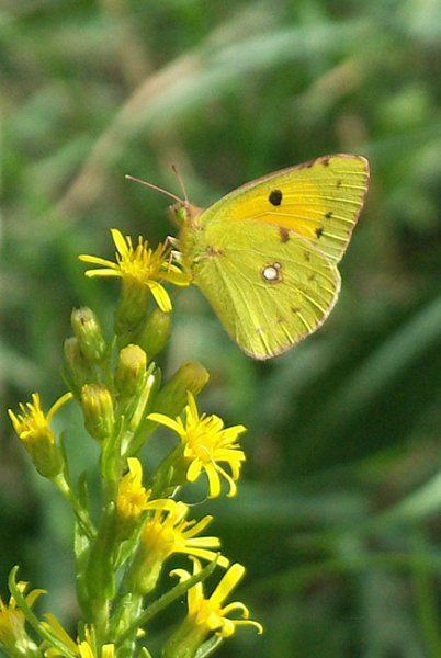 Clouded Yellow by TonyDy