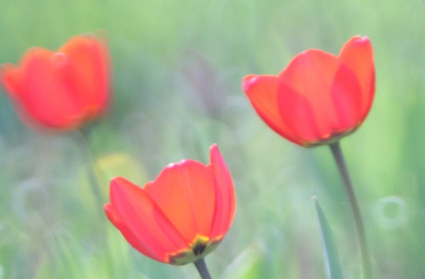 Poppies (I think) by Nigel61