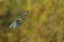 Morgan in-flight by AlanWillis