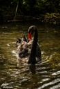 The Black Swan by Jodyw17
