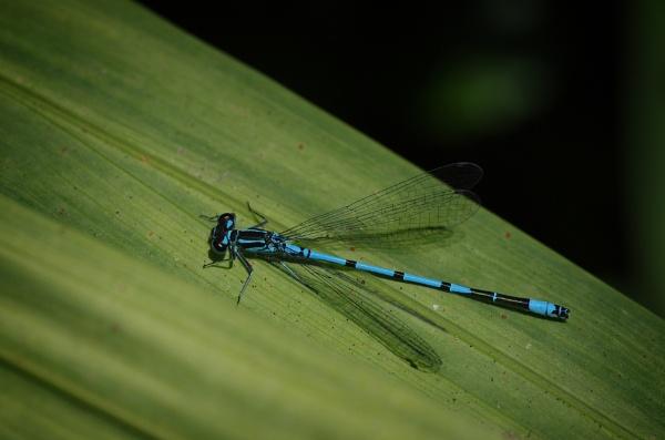 Blue Damselfly by CaroleS