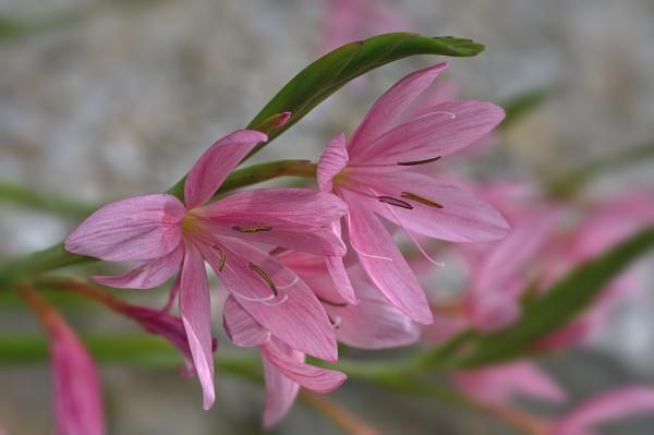 Kaffir Lily by CaroleS