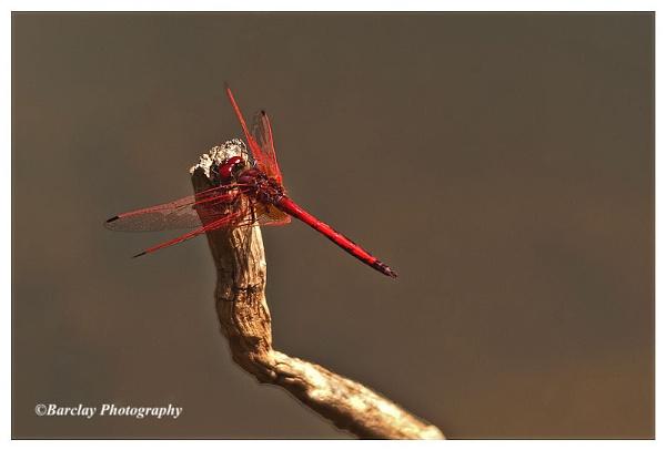 Dragon fly by fatfranksfolley