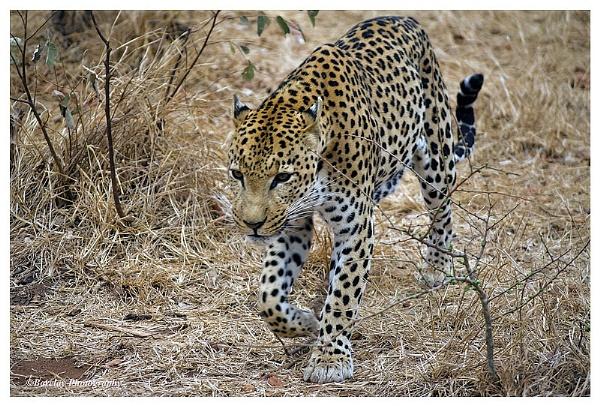 Tshukudu Leopard by fatfranksfolley