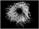 Clematis seed-head. by JawDborn