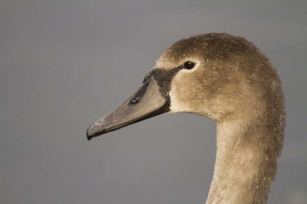 Cygnet or Swan? by fandangofandingo