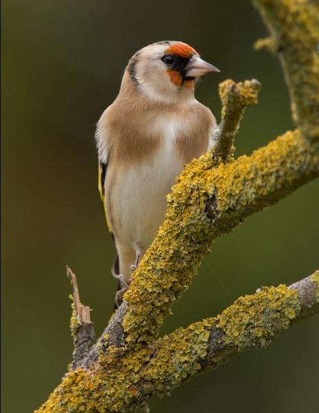 Goldfinch on Lichen branch. by 10delboy