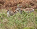 Fallow Deer by whipspeed
