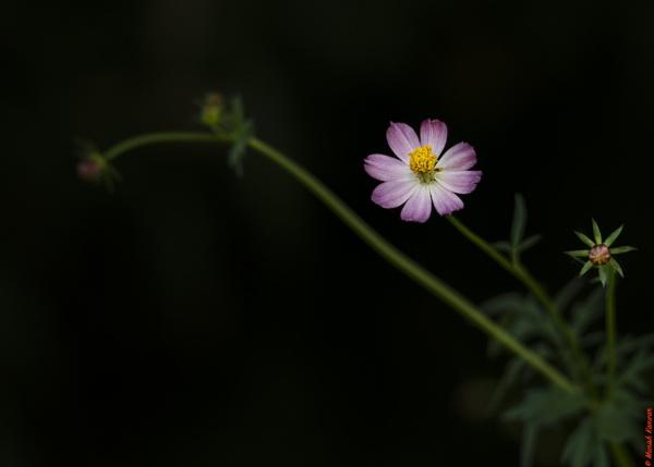 Flower life cycle.. by kanwarmunish