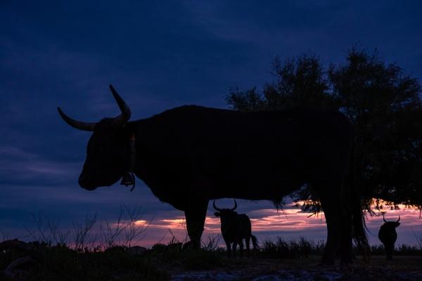 Camargue bulls by NathalieM