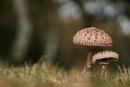 Parasol mushroom by discreetphoton