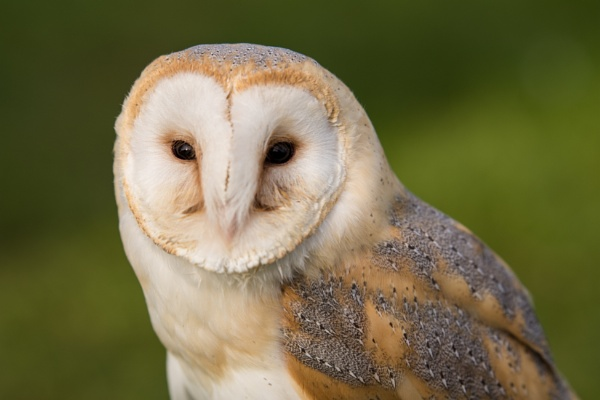 Barn Owl by wrighty76