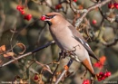 waxwing by notjustcolour