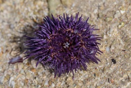 Sea urchin on the beach Macro