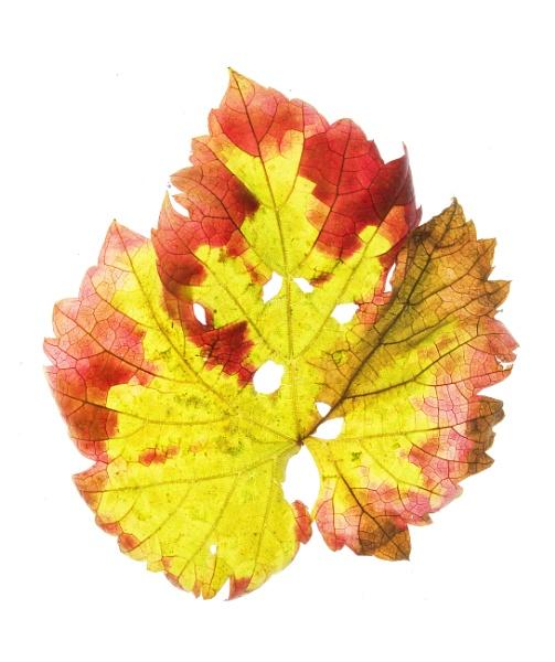 Grape leaf by Fionna