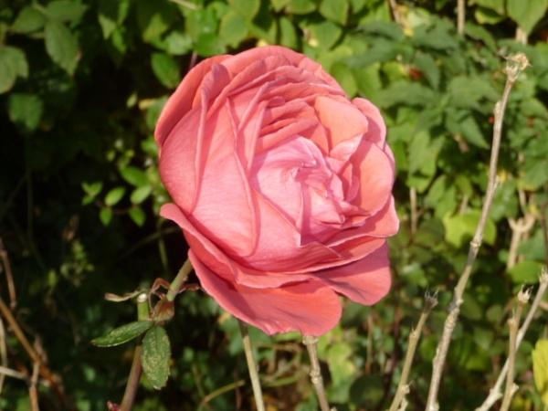 ** Pink November Rose **