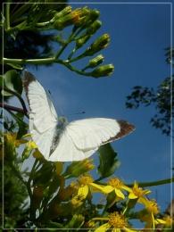 elusive white!