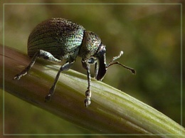 another weeny weevil