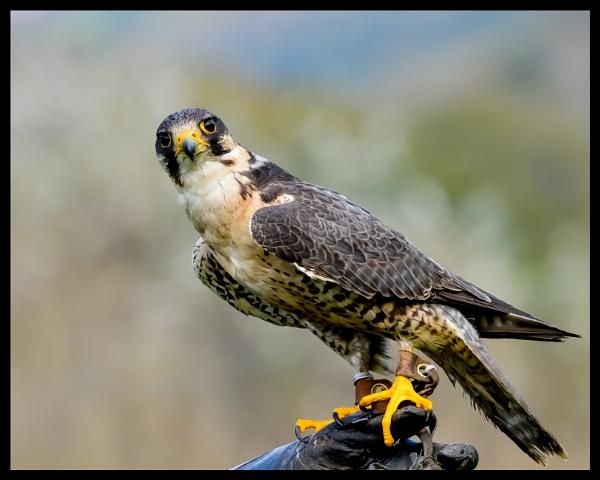 Peregrine/Saker Falcon by techmandan