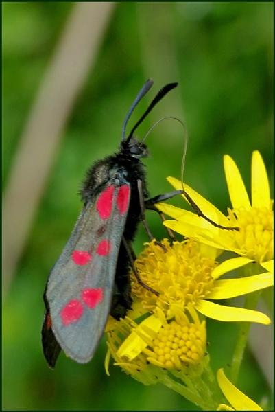 6 spot burnet moth. by Badgerfred