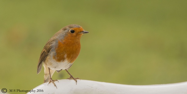 Robin by Mike_Smith