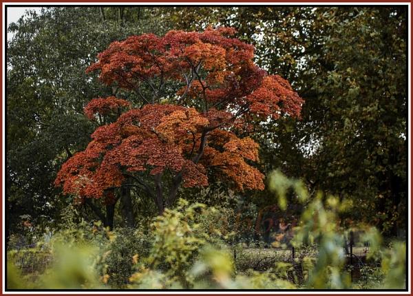 Japanese Maple by davetac
