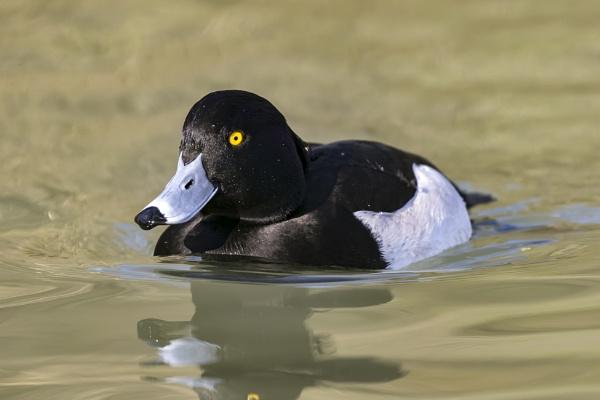Tufted Duck by SteveMoulding