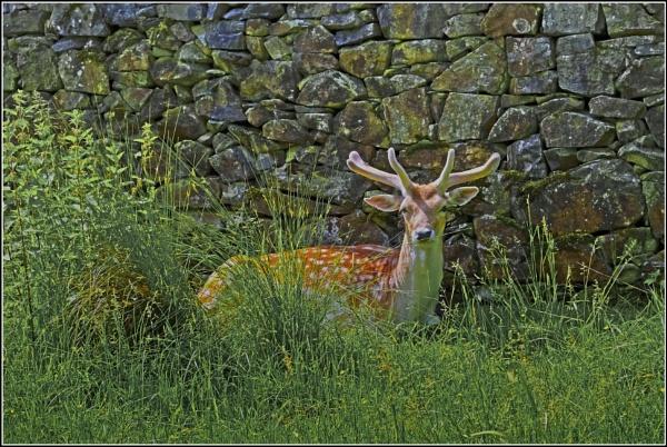 Bradgate Deer. by silverfoxey