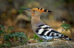Hoppo's Birds