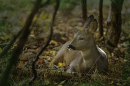 Roe Roe Roe your Deer