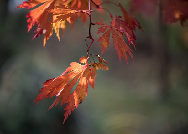 Japanese Maple:  ORANGE by taggart