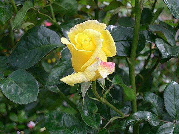 The Rose. by eddiemat