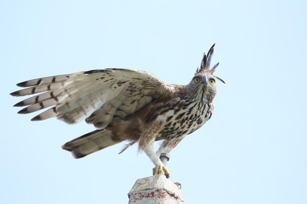 Changeable Hawk Eagle by Yoga