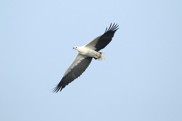 White Ballied Sea Eagle by Yoga