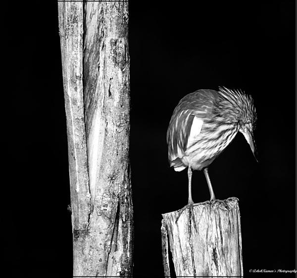 Pond Heron by ashokynk
