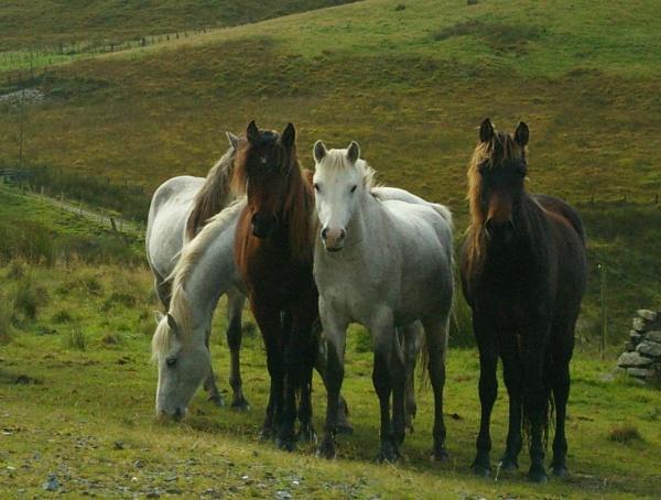 Horses by HerefordAnn