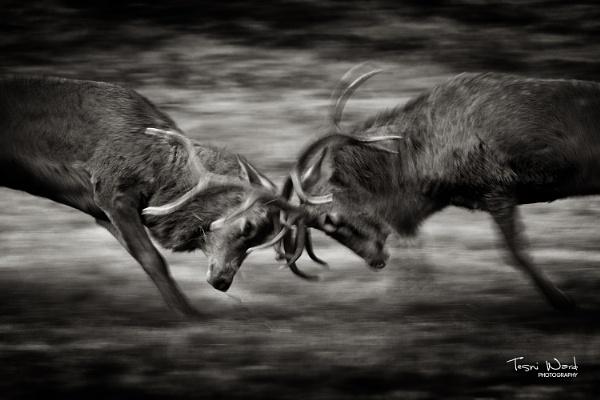 Deer Rutting by Tazni
