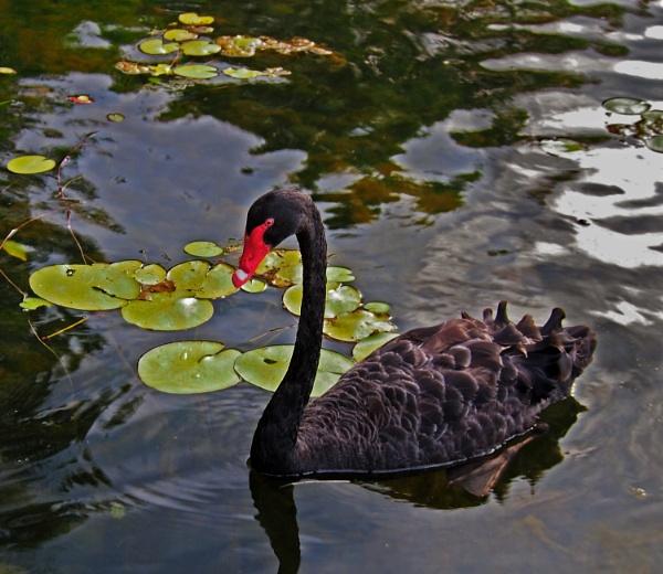 The Black Swan by Wireworkzzz