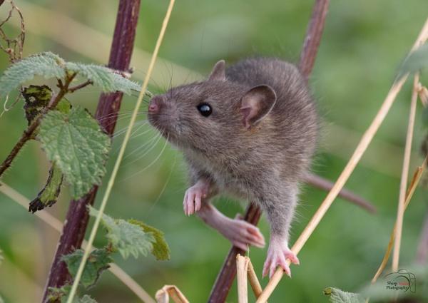 Mouse no2. by razer