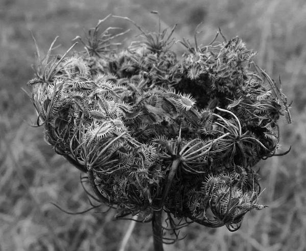 Seed head by oldgreyheron