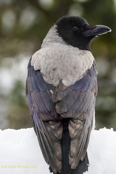 Hooded Crow. 2131 by Richard Hovland