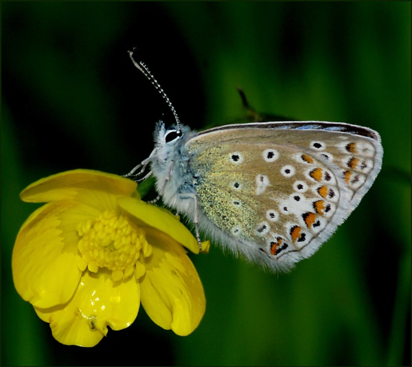 Common Blue(m) Perched on a Buttercup. by Badgerfred