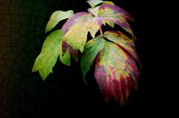Tree Peony Leaf by helenlinda