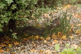 grey squirrel in garden .
